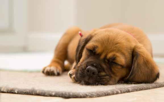 dog cute sleeping puppy